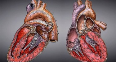 Investigan un péptido prometedor para el ataque cardiaco, el ictus y las lesiones cerebrales traumáticas