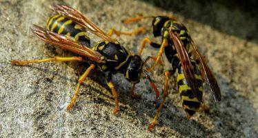 Las reacciones alérgicas graves por picaduras de insectos crecen