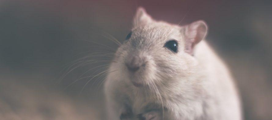 Desarrollan una terapia génica que logra revertir la diabetes tipo 2 y la obesidad en ratones